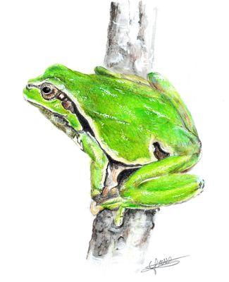 grenouille verte crayons de couleur
